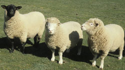 Suffolk & Dorset sheep